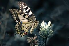 Gemeenschappelijke Gele Swallowtail royalty-vrije stock afbeeldingen