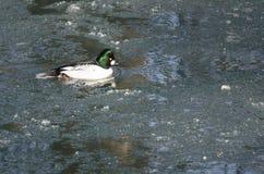 Gemeenschappelijke Goldeneye die in een Koude Slushy de Winterrivier zwemmen stock fotografie