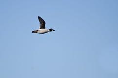 Gemeenschappelijke Goldeneye Duck Flying in een Blauwe Hemel stock foto's
