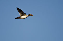 Gemeenschappelijke Goldeneye Duck Flying in een Blauwe Hemel stock afbeelding