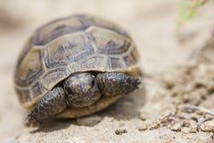 Gemeenschappelijke graeca van Schildpadtestudo of ook gekend als Griekse schildpad, of aansporing-thighed schildpad, is één van d royalty-vrije stock foto's