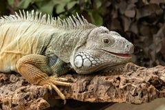 Gemeenschappelijke Groene Leguanen Royalty-vrije Stock Fotografie