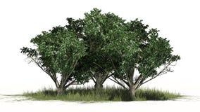 Gemeenschappelijke haagdoornbomen met witte bloesems stock illustratie