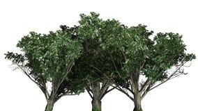 Gemeenschappelijke haagdoornbomen met witte bloesems royalty-vrije illustratie