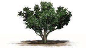 Gemeenschappelijke haagdoornboom met witte bloesems royalty-vrije illustratie