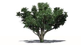 Gemeenschappelijke haagdoornboom met witte bloesems stock illustratie