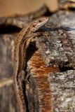 Gemeenschappelijke hagedis (Zoothoca-viviparia) Royalty-vrije Stock Foto
