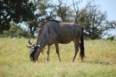 Gemeenschappelijke het meest wildebeest (connochaetes taurinus) Stock Afbeelding
