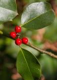 Gemeenschappelijke Holly Berries Christmas-installatie Stock Afbeeldingen