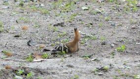 Gemeenschappelijke Hoopoe-vogel in aard stock video