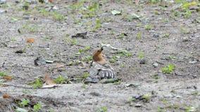 Gemeenschappelijke Hoopoe-vogel in aard stock footage