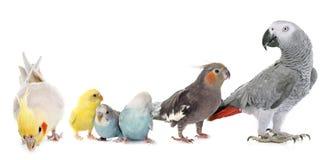 Gemeenschappelijke huisdierenparkiet, papegaai en Cockatiel Stock Foto's