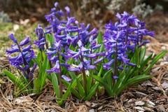 Gemeenschappelijke Hyacint, Hyacinthus-orientalis stock foto