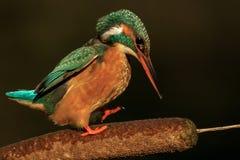 Gemeenschappelijke Ijsvogel Royalty-vrije Stock Fotografie