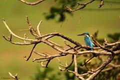 Gemeenschappelijke Ijsvogel Royalty-vrije Stock Afbeeldingen