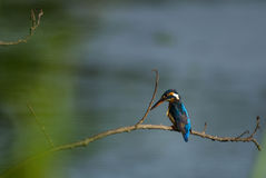 Gemeenschappelijke Ijsvogel Royalty-vrije Stock Foto