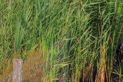 Gemeenschappelijke ijsvogel in Nederlands rietlandschap Stock Afbeelding