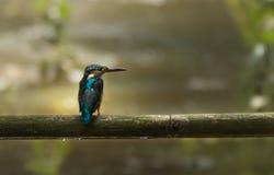 Gemeenschappelijke Ijsvogel op een bumboo Royalty-vrije Stock Afbeeldingen