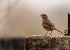 Gemeenschappelijke Ijsvogel op een bumboo Stock Afbeelding