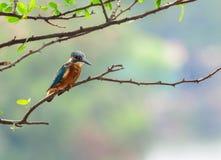 Gemeenschappelijke Ijsvogelvogel (Alcedo-atthis) Royalty-vrije Stock Afbeelding