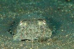 Gemeenschappelijke inktvissen - Sepia officinalis Stock Foto