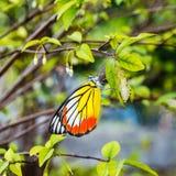 Gemeenschappelijke jezebel vlinder Stock Fotografie