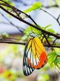 Gemeenschappelijke jezebel vlinder Stock Foto's