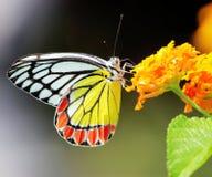 Gemeenschappelijke jezebel vlinder Royalty-vrije Stock Foto