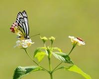 Gemeenschappelijke Jezebel vlinder met een katoenen insect Royalty-vrije Stock Afbeelding
