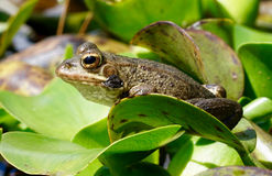 Gemeenschappelijke kikker met gouden ogen Stock Fotografie