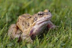 Gemeenschappelijke kikker op gras Royalty-vrije Stock Foto's