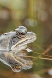 Gemeenschappelijke kikker in water Royalty-vrije Stock Foto's