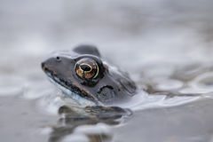 Gemeenschappelijke kikker in water Stock Afbeelding