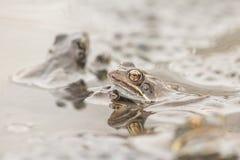 Gemeenschappelijke kikker in water Royalty-vrije Stock Afbeelding