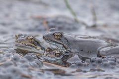 Gemeenschappelijke kikker in water Royalty-vrije Stock Afbeeldingen