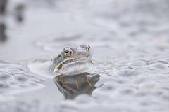 Gemeenschappelijke kikker in water Stock Afbeeldingen