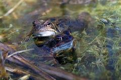 Gemeenschappelijke kikkers in de lente Royalty-vrije Stock Foto