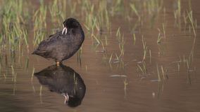 Gemeenschappelijke Koet in Marsh Cleaning Feathers stock fotografie