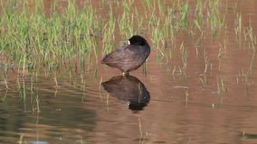 Gemeenschappelijke Koet in Marsh Cleaning Feathers stock video