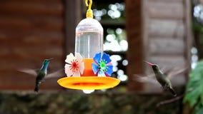 Gemeenschappelijke kolibrie stock videobeelden