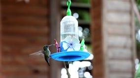 Gemeenschappelijke kolibrie stock footage