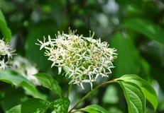 Gemeenschappelijke kornoelje (Cornus sanguinea) Royalty-vrije Stock Foto's