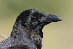 Gemeenschappelijke kraai, (Corvus-corone) Stock Afbeeldingen