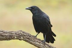 Gemeenschappelijke kraai, (Corvus-corone) Royalty-vrije Stock Afbeelding