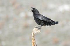 Gemeenschappelijke kraai, (Corvus-corone) Stock Afbeelding