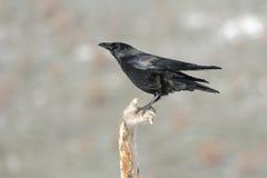 Gemeenschappelijke kraai, (Corvus-corone) Stock Fotografie