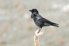 Gemeenschappelijke kraai, (Corvus-corone) Royalty-vrije Stock Foto