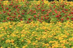 Gemeenschappelijke Lantana-bloemen Stock Fotografie
