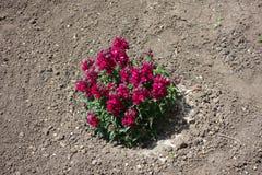 Gemeenschappelijke leeuwebek met robijnrode rode bloemen stock foto