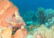 Gemeenschappelijke lionfish Stock Foto